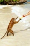 Krabba-äta macaquen som tar bananen från turist på stranden på P Royaltyfri Foto