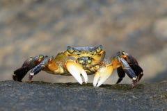 krabba arkivfoton
