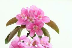 Krabba-Apple blommor royaltyfria foton