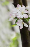 Krabba-Apple blommor Royaltyfri Bild