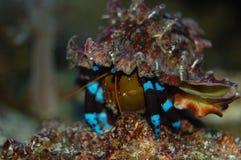 krabba diogenes Arkivfoton