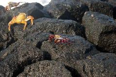 krabba galapagos Arkivfoto