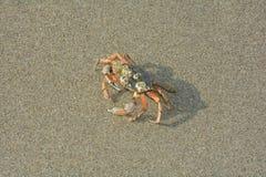 Krabba i den våta sanden Arkivfoton