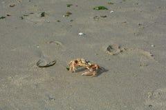Krabba i den våta sanden i solljus Arkivfoto