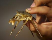 Krabba i händer Royaltyfri Fotografi