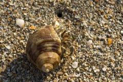Krabba i sanden Arkivbild
