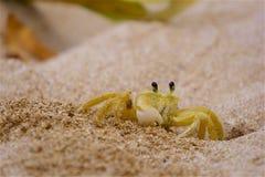 Krabba i sanden royaltyfri bild