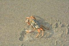 Krabba i sanden i solljus Royaltyfri Fotografi