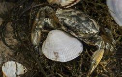 Krabba i snäckskal på den smutsiga sandbakgrunden Arkivbild