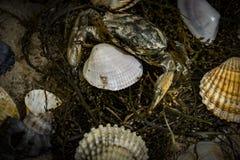 Krabba i snäckskal på den smutsiga sandbakgrunden Royaltyfria Foton
