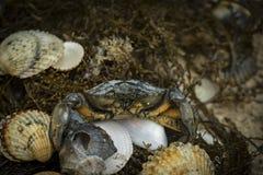Krabba i snäckskal på den smutsiga sandbakgrunden Royaltyfri Bild