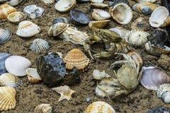 Krabba i snäckskal på den smutsiga sandbakgrunden Royaltyfri Foto