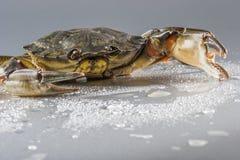 Krabba makro, skaldjur, jordluckrare, skaldjur, mat som är ny, studio Royaltyfria Foton