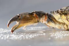 Krabba makro, skaldjur, jordluckrare, skaldjur, mat som är ny, studio Royaltyfri Bild