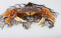 Krabba med korall royaltyfria bilder