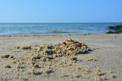 Krabba på den sandiga stranden för havet Royaltyfria Foton