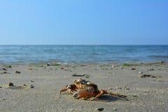 Krabba på den sandiga stranden för havet Royaltyfri Foto