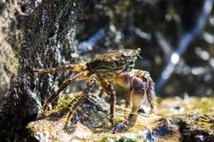 Krabba på det Israel havet arkivfoto