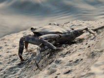 Krabba på klippan Fotografering för Bildbyråer