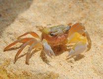 Krabba på soliga stränder för hav Fotografering för Bildbyråer