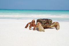 Krabba på stranden, Thailand Arkivbild