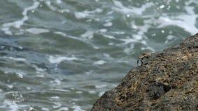 Krabba på vagga på stranden stock video