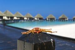 Krabba på vedtrave Royaltyfri Foto