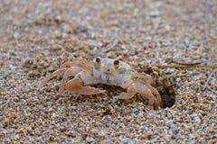 Krabba på sanden Fotografering för Bildbyråer
