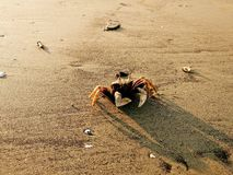 Krabba p? stranden arkivfoton