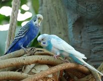 Krabba papegojor royaltyfri fotografi