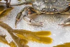 Krabba skaldjur, jordluckrare, skaldjur, mat, ett djur, studio Royaltyfri Fotografi