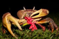 Krabba som äter hibiskusen Royaltyfria Bilder