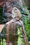 krabba som äter macaquen Royaltyfria Bilder