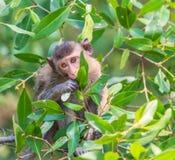 krabba som äter macaquen Arkivfoto