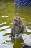 Krabba som äter macaquen Royaltyfri Foto