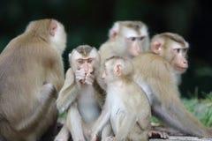 krabba som äter macaquen Fotografering för Bildbyråer