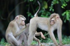 krabba som äter macaquen Arkivbilder