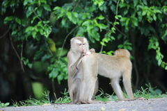 krabba som äter macaquen Royaltyfri Bild
