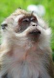 Krabba som äter macaquen Sri Lanka Fotografering för Bildbyråer