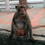krabba som äter macaquen thailand Arkivbild
