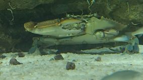 Krabba som äter något arkivfilmer