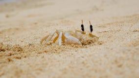 Krabba som gör ett hål i sand stock video