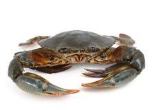 Krabba som isoleras på vit Arkivbild