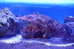 Krabba som kamoufleras vaggar så, i akvarium royaltyfri foto