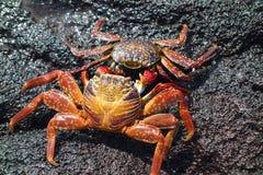 Krabba två på vaggar Arkivfoto