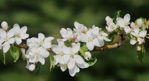 KrabbaApple blomningar Arkivfoton