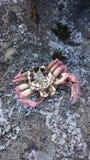 Krabbabegravning Arkivbilder