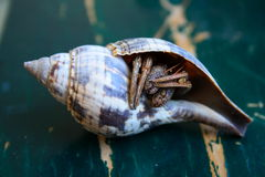 krabbaensling Royaltyfria Foton