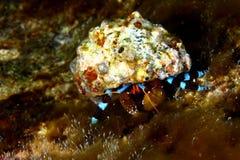 krabbaensling Arkivfoto