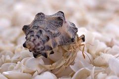 krabbaensling Royaltyfria Bilder